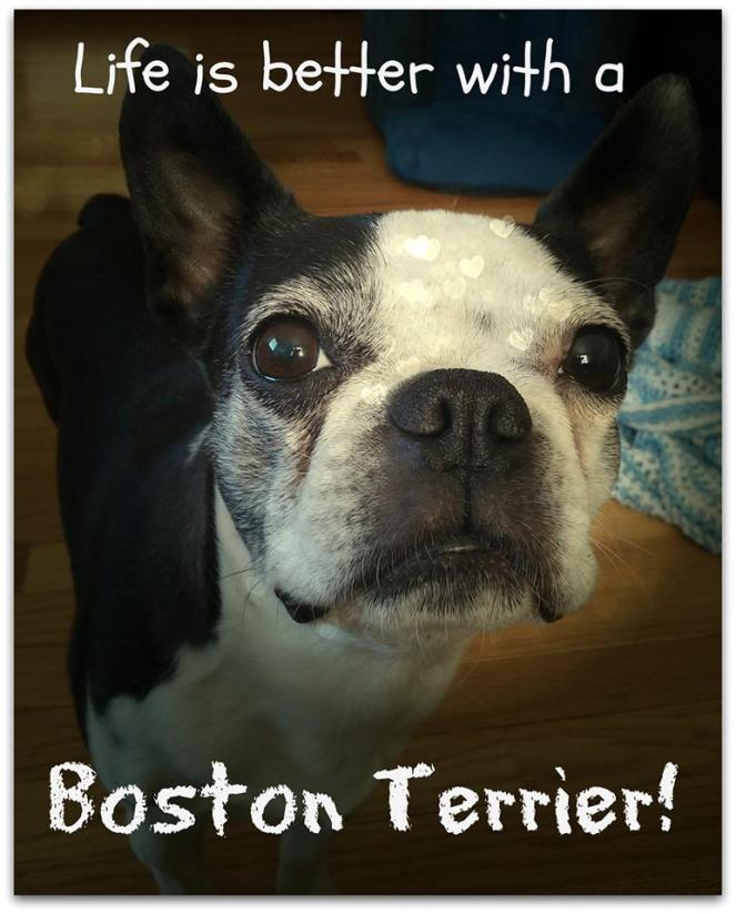 life-is-better-with-a-boston-terrier | lookingjoligood.wordpress.com