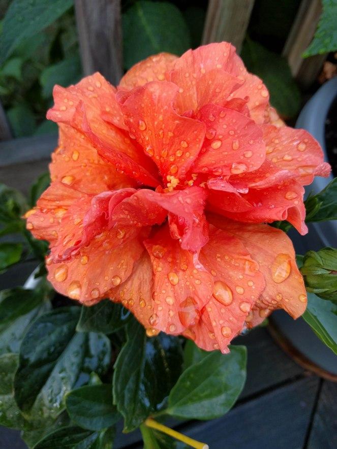 hibiscus | lookingjoligoodwordpress.com